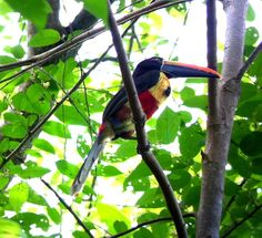 #2 I'm wondering if these birds are only in the rainforest or if these are scattered throughout the  country.