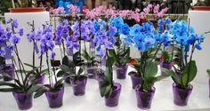 Odkvetla vám orchidej ? Toto je nejjednodušší způsob, jak ji opět přivést k životu