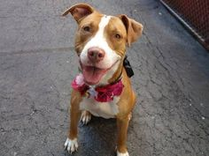 TO BE DESTROYED - 09/15/14  Manhattan Center -P   My name is RAVEN. My Animal ID # is A1013300.  I am a female brown and white pit bull mix. The shelter thinks I am about 1 YEAR 6 MONTHS old.   **IN MEMORY OF THOSE THAT DIED, $150 DONATION TO THE NEW HOPE RESCUE THAT PULLS**   I came in the shelter as a STRAY on 09/07/2014