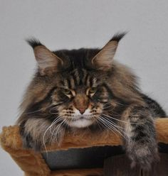 maine_coon_enzo http://www.mainecoonguide.com/where-to-find-maine-coon-kittens-for-sale/