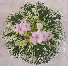 Cajuns Fickle Flirt B. Variegated light-medium green and white,pointed, quilted, serrated. Perennial Flowering Plants, Variegated Plants, Herbaceous Perennials, Indoor Shade Plants, All Flesh Is Grass, Overwintering, Saintpaulia, Inside Plants, African Violet