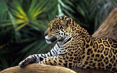 E & P Bauer - Onça Pintada na Floresta Amazônica, Brasil (Jaguar in Amazon Rainforest, Brazil)