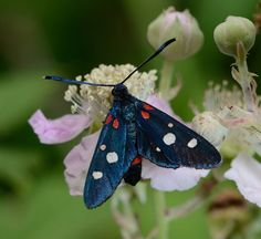 Zygaena ephialtes. I love the velvety sheen on this moth. This beautiful photo was taken in France by David Genoud.
