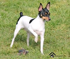 This Toy Fox Terrier looks so much like my Jasper.