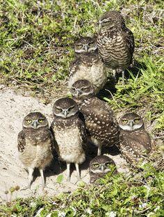 Burrowing Owls .