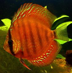 Discus Alenquer Red