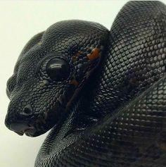 Boa constrictor morph
