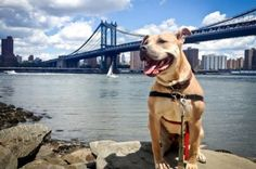 Service Dog Registration in New York