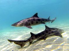 La Jolla Water Sports: Two-Hour Shark Tour Expedition- paid. need to make reservation still Underwater Creatures, Ocean Creatures, Orcas, Beautiful Creatures, Animals Beautiful, Leopard Shark, Shark Bait, Shark Swimming, Water Life