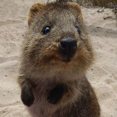 Happy World Smile Day! These guys can't get enough smiles in! ・・・ The quokka is one of the happiest animals on earth. You can find them all over Rottnest Island! Penguin Animals, Happy Animals, Animals And Pets, Cute Animals, Quokka Animal, World Smile Day, Australian Animals, Little Critter, Animals Of The World