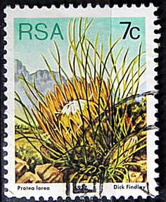 Republic of South Africa.  PROTEA LOREA.  Scott 481 A191, Issued 1977 May 27,  Lithogravured, Perf. 12 1/2, 7c.