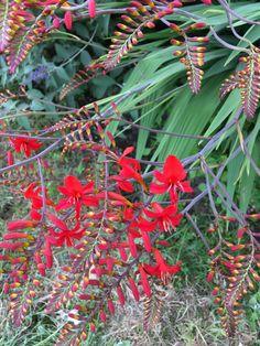 Foto:Arjen.3-7-2019.Bennekom.Fotonummer:3810.Crocosmia. Crocosmia, Garden, Flowers, Garten, Lawn And Garden, Gardens, Gardening, Royal Icing Flowers, Outdoor