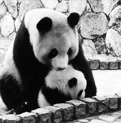 Affectionate Panda with her cub