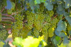Viognier grapes at Perissos Vineyards near Burnet, Texas