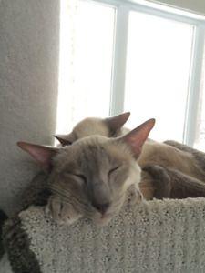 Chat Siamois De 7 Ans A Donner Kijiji Cats Animals