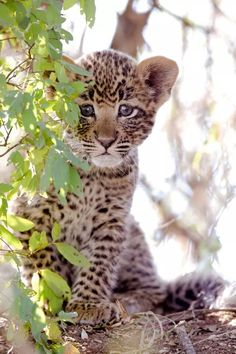 Leopard cub. So cute!
