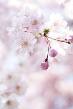 sakura** by yocca**