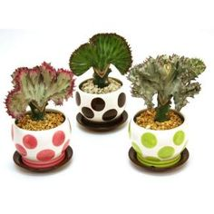 Coral Cactus Plant great for the home; low maintenance.  A conversation piece in any room.