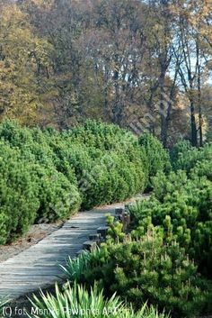 Pinus mugo subsp. mugo sosna kosodrzewina Ca 2m