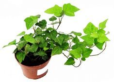 bluszcz Herbs, Plants, Gardening, Lawn And Garden, Herb, Plant, Planets, Horticulture, Medicinal Plants