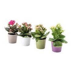 IKEA - KALANCHOE, Pflanze mit Übertopf, Grünpflanzen und Übertöpfe im persönlichen Stil beleben die Einrichtung.