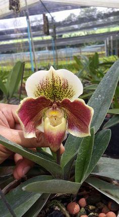 Paphiopedilum orchids.