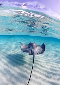 I was in the Bahamas and had a unforgettable experience with a lone Stingray who led me part way around the island in a sweet game of catch-me-if-you can. I will never forget that animal and so stingrays always make me smile.