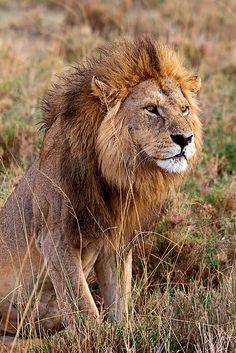 """Lion. See Over 2500 more animal pictures on my Facebook """"Animals Are Awesome"""" page. animals wildlife pictures nature fish birds photography cute beautiful"""