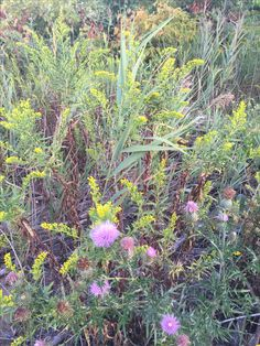 Spotted thistle and golden rods