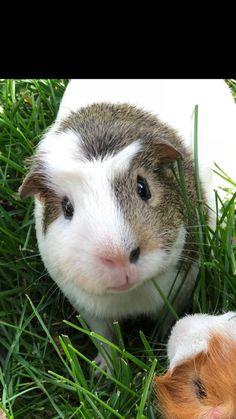 Cute Guinea pig named Moe