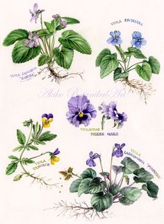 vioret-2015  ⇒http://botanical.sakura.ne.jp/Gallery.html