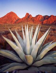 Agave Plant and Chisos Mountains, Big Bend National Park, Texas, USA. Photo by Zest-pk. Agaves, Plant Wall Decor, Plant Art, Ikebana, Agave Plant, Desert Plants, Desert Cactus, Cacti And Succulents, Cactus Planters