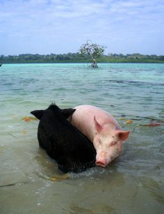 The most amazing thing i've ever seen (involving pigs). Ying&Yang!