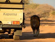 Kapama Gallery Safari Experience Big 5 Lion Private Games, Big 5, Game Reserve, Beautiful Landscapes, Safari, Lion, Wildlife, Explore, Gallery