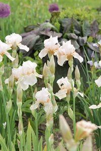 Iris germanica 'Concoction'