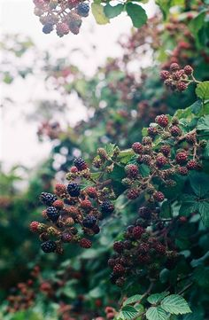 Wild Blackberries on stems (don't let the goats eat these)