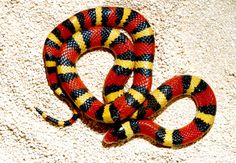 Milk Snake - WetCanvas
