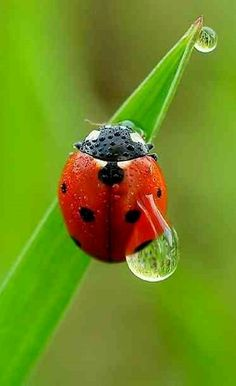 Ladybug wet with dew...