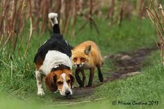 Whos following who! The fox and the hound