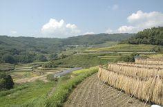 rice fields of uchinari,beppu #oita #japan