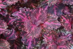 Coleus 'Flamingo'. Scalloped leaves in dark purple and deep pink.