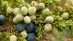 Information on the Health Properties, Benefits and Side Effect of the Herb Juniper (Juniperus communis) And Its Traditional Uses in Folk Medicine
