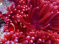 ruffled sea anemone - Google Search