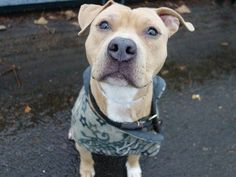 SAFE --- Manhattan Center   KINGSTON - A1021705  MALE, BROWN, PIT BULL MIX, 1 yr OWNER SUR - EVALUATE, NO HOLD Reason LLORDPRIVA  Intake condition EXAM REQ Intake Date 11/26/2014,  Main thread: https://www.facebook.com/photo.php?fbid=913517175327829