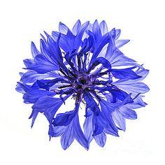 Elena Elisseeva - Blue cornflower flower