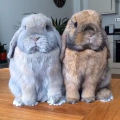We post videos like this daily! 🙊 #cats #dogs #animals #cute #cutecats #funny #pets #petlovers #wild #nature #bunny #chicken #animalphotography Cute Little Animals, Cute Funny Animals, Cute Little Things, Cute Baby Bunnies, Bunny Bunny, Grey Bunny, Fluffy Bunny, Mini Lop Bunnies, Mini Lop Rabbit