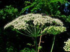 Der Gärtner will Girsch bekämpfen und entfernen. Dabei könnte er dieses immer nachwachsende Wildgemüse achten und sinnvoll in Ernährung und Heilung nutzen -Bild von H. Zell [CC BY-SA 3.0]