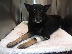 """POLICE DOG DRAWS GUNFIRE TO PROTECT OTHER OFFICERS - """"In seconds, the dog took two shots to its body, likely saving both the handler's life and the lieutenant with him…""""  Kenzo,a police dog with the Palm Beach County Sheriff's Office, was shot twice when he and several officers confronted an armed suspect. Kenzo is credited with rushing the suspect and drawing gunfire away from the other officers."""