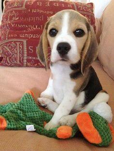 Bashful Beagle!