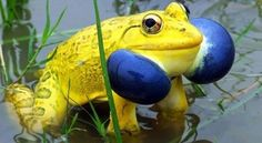 The Indian Bull Frog This frog has attracted much attention for one main reason - its incredible mating colors. A male Indian Bullfrog will turn bright yellow with bright blue vocal sacs. It is also believed that this frog is capable of jumping on the surface of the water, as they would on land, when they are frightened.